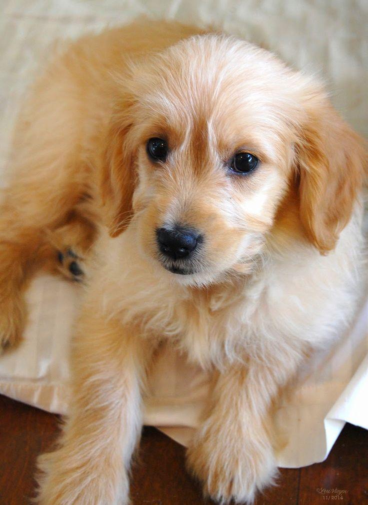 elvie studio: meet Gadget. Golden Retriever and miniature poodle mix!