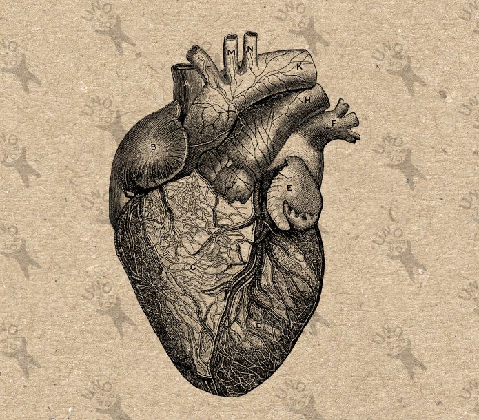 Human heart anatomy vintage - photo#12