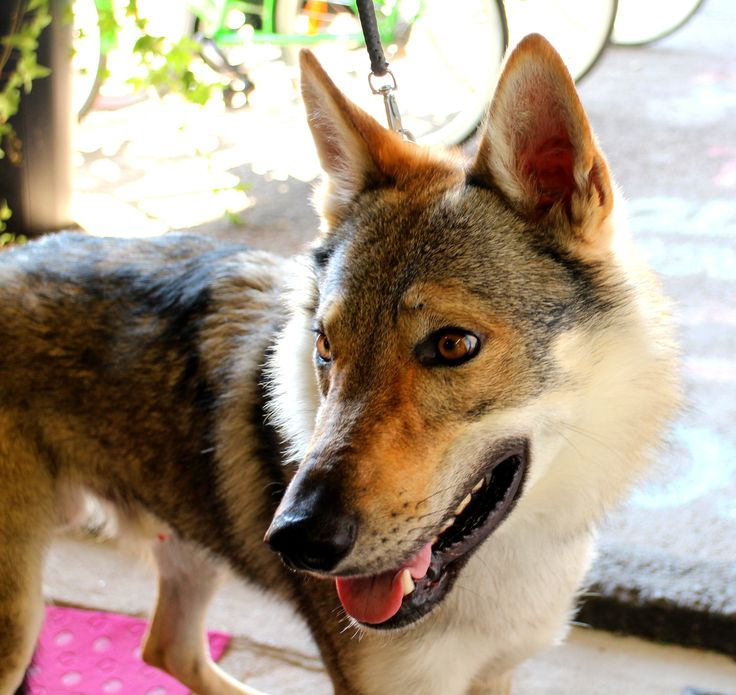 """Czechoslovakian Wolfdog visiting Finland for the first time. """"I came to see kid's Porvoo with my human baby brother. It has been a long way to come from Italy to Porvoo."""" www.visitporvoo.fi"""