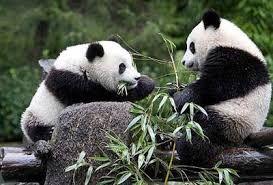 OSOS PANDA Es una especie de mamífero del orden de los carnívoros y aunque hay una gran controversia al respecto, los últimos estudios de su ADN lo engloban entre los miembros de la familia de los osos, siendo el oso de anteojos, su pariente más cercano, si bien este pertenece a la subfamilia de los tremarctinos.