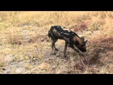 Wilde honden zijn een ernstig bedreigde diersoort. Deze roedel in Botswana wordt geobserveerd en gevolgd door wetenschappers. Op deze video hebben een aantal wilde honden hebben een impala gedood. Een hyena wil er ook een graantje van meepikken. (Geluid aanzetten) Reisvideo door communitylid Kasangua - NG ReisCommunity © Upload zelf je mooiste video's op www.nationalgeographic.nl/reizen/videos/toevoegen