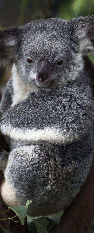 Australia Koala via natureblogger.com