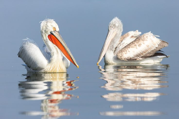 Photographing Dalmatian pelicans at Lake Kerkini in Greece. Februari is the start of their breeding season an then they show their beautiful feathers and beak colours.