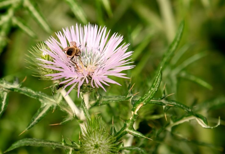Cardo in fiore