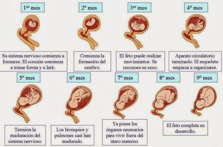 Embarazo etapas - Imagui