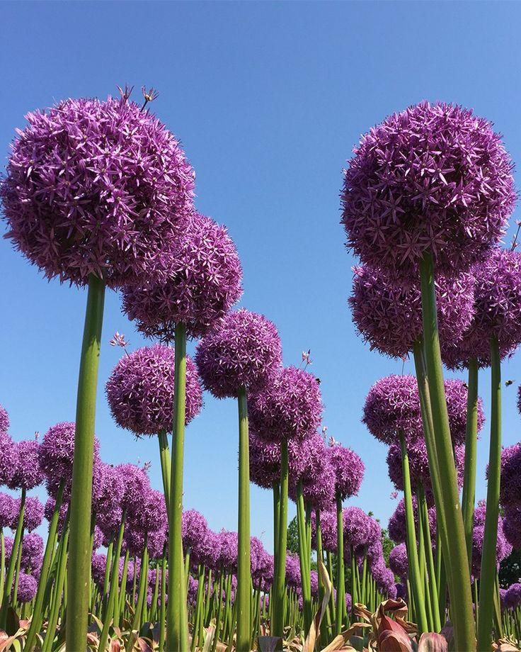 Giant Allium Bulbs Globemaster Dutchgrown