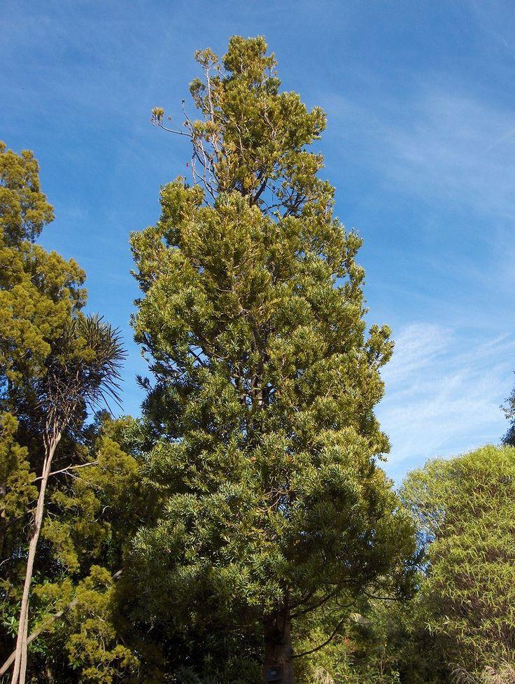 Agathis australis - kauri photos