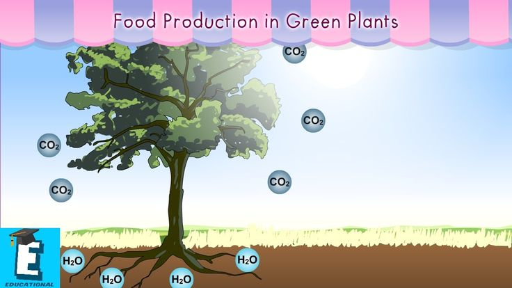 Food production in green plants by Educational Program For Kids