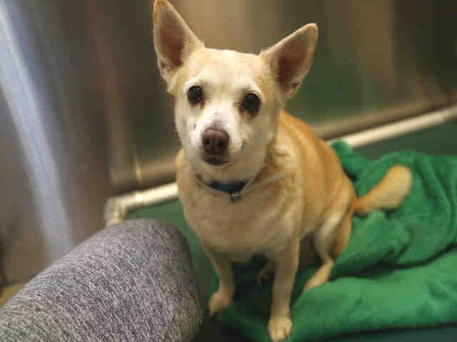 Chihuahua dog for Adoption in Denver, CO. ADN-529705 on PuppyFinder.com Gender: Female. Age: Senior