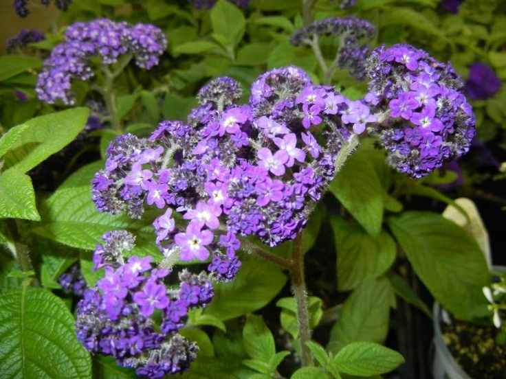 Heliotrope Smells Like Baby Powder But Even More Delicious