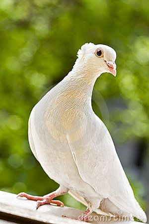 White tufted pigeon standing on a window sill.