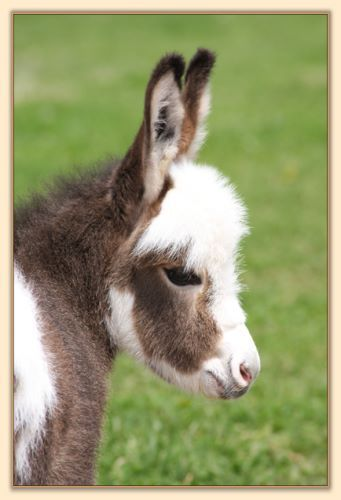 Mini donkey :) I LOVE this baby!