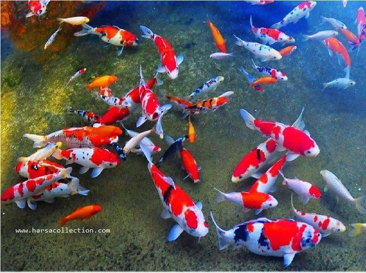 Gambar ikan malong dress