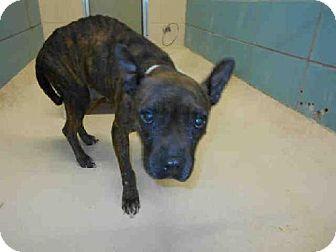 Tampa, FL - French Bulldog Mix. Meet *MIKO, a dog for adoption. http://www.adoptapet.com/pet/10306883-tampa-florida-french-bulldog-mix