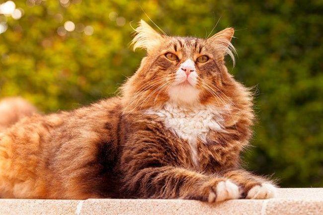 Помимо того, что мейн кун - одна из самых дорогих пород кошек, это также самая крупная порода в мире
