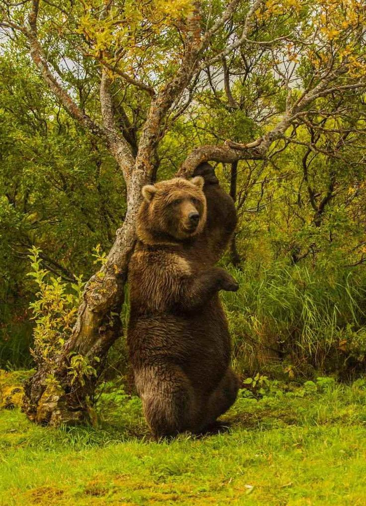 Grizzly rubbing his back on a tree on the bank of Battle River in a remote area of Katmai National Park, Alaska. Photo credit: � Jim James