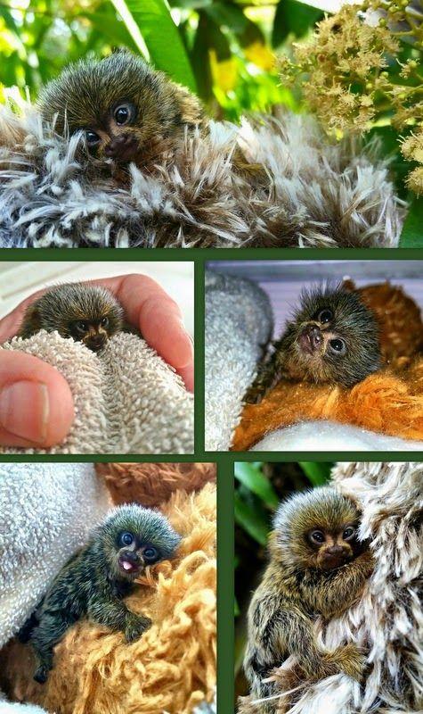 Chispa the pygmy marmoset