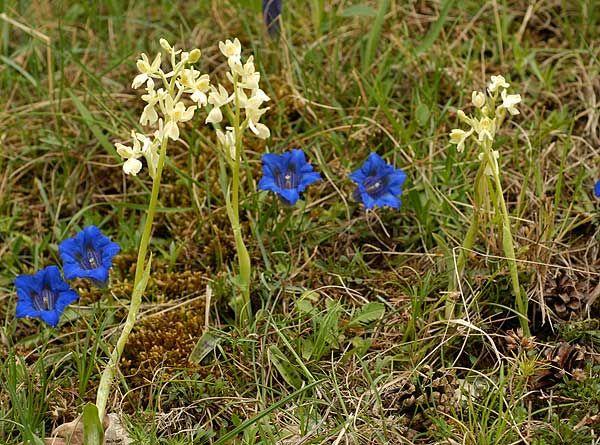FLOREALPES : Orchis provincialis / Orchis de Provence / Orchidaceae / Fiche détaillée Fleurs des Hautes-Alpes