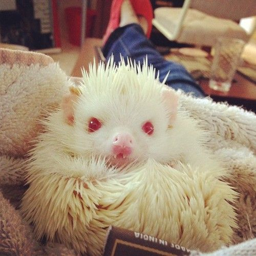 Albino Hedgehog..I think I have had nightmares starring this little guy