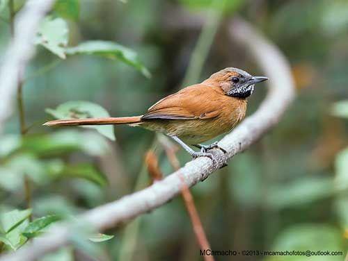 João-de-Barba-Grisalha. Lista vermelha da extinção - Revista Ecológico