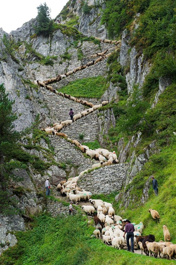 Sheep zig-zag up trail in Switzerland