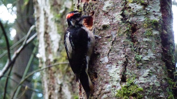 woodpecker busy at work
