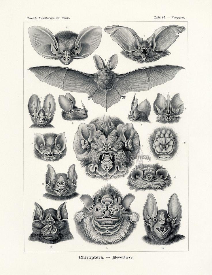 Chiroptera, Bat