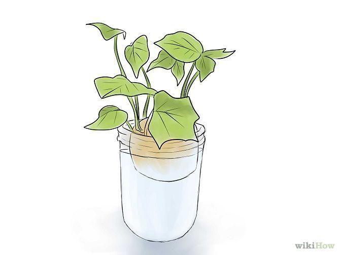 Grow Sweet Potatoes. Bon à savoir : placez un morceau de charbon de bois ou une feuille de lierre au fond du verre, pour empêcher l'eau de croupir.