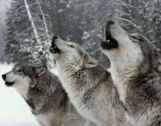 """La manada de lobos """"Sawtooth"""" http://ecomedioambiente.com/etologia/manada-de-lobos-sawtooth/"""