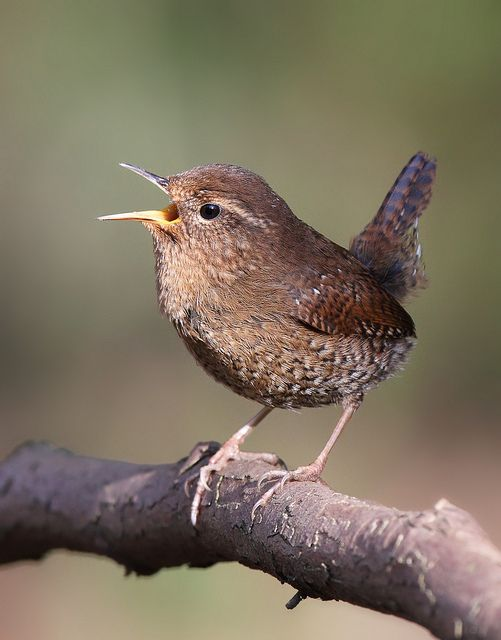 Wren wren wren!!!!!    So lovelyy!