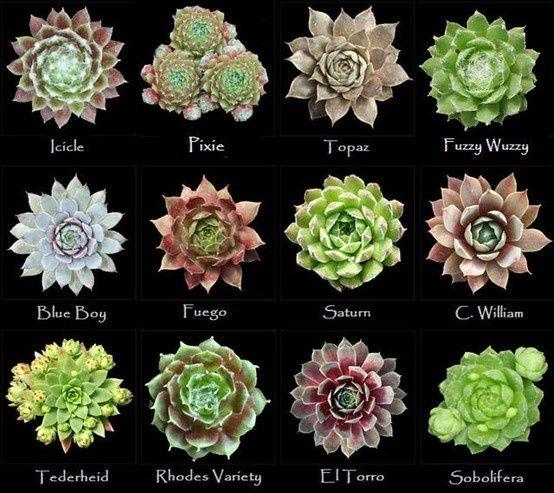 154 best garden succulents images on pinterest for Different types of succulent plants