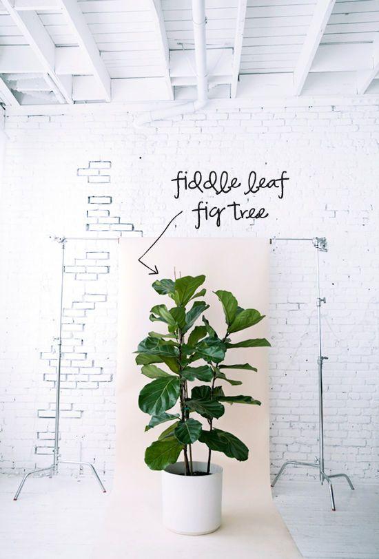 20 best fiddle leaf fig images on pinterest fiddle leaf for Top 20 indoor plants