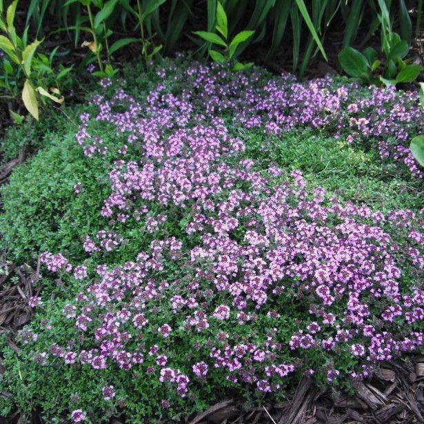 Les 170 meilleures images du tableau fleurs sur pinterest - Couvre sol persistant ...