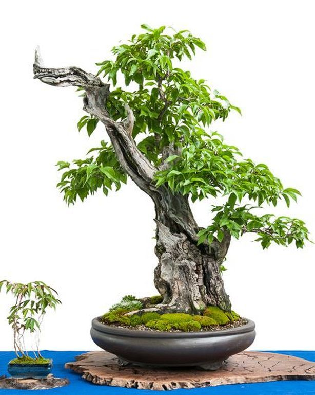 40 Best Bonsai Trees Ideas For Home Decor Inspiration | Others