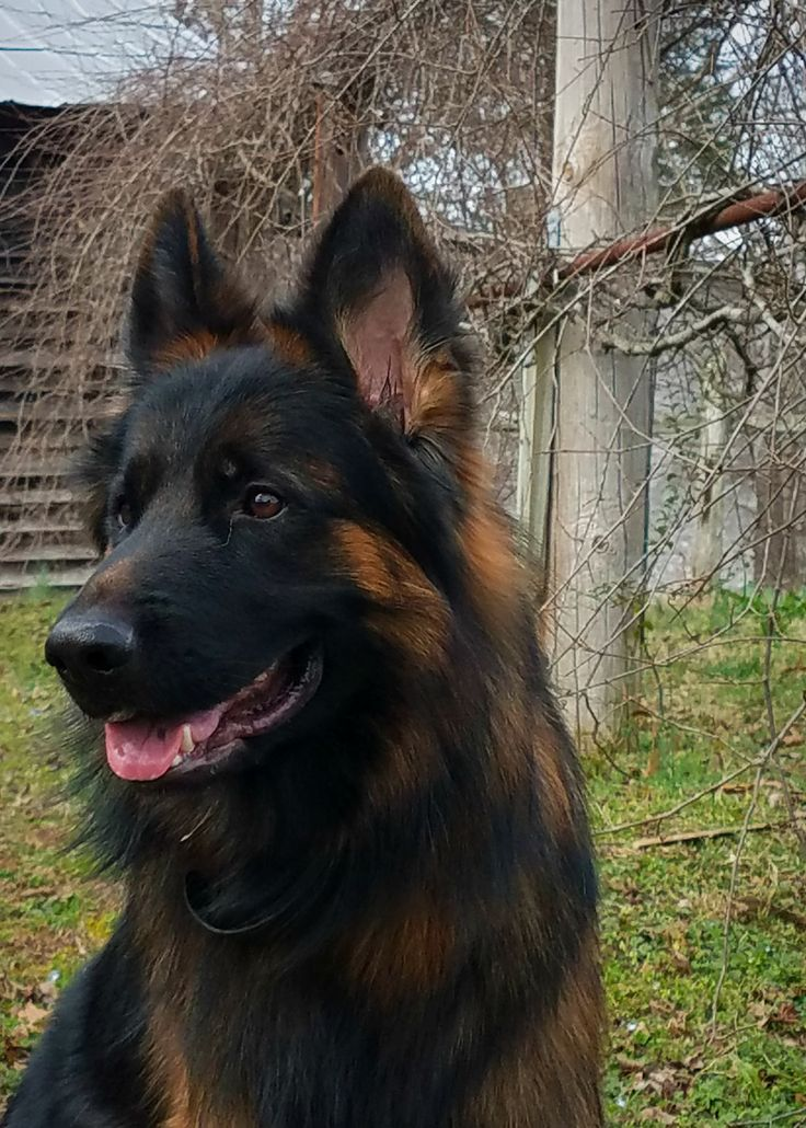 19882 best images about German Shepards on Pinterest ...