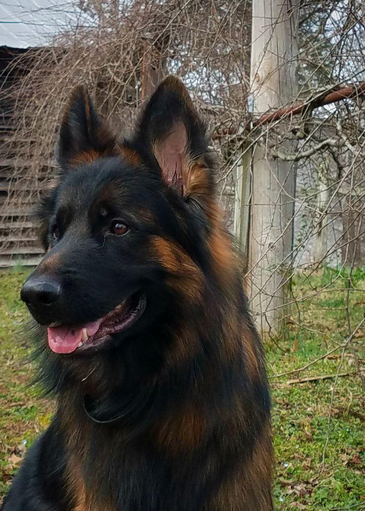 Long Coat German Shepherd. Odin - Panjo V. Ljulin.  West German Showline German Shepherd, Black and Red, #WonderlustPup #ZufluchtK9s https://www.facebook.com/ZufluchtK9s/