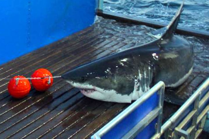 Huge great white shark swimming toward New York