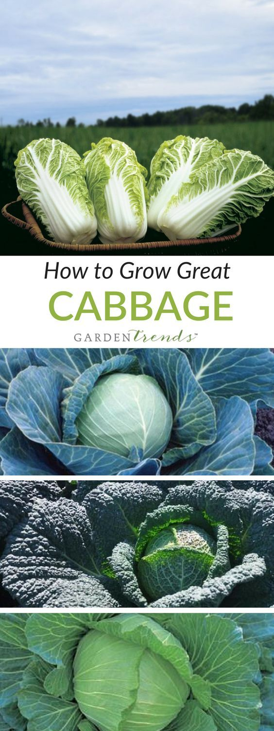One of the first plants taken from the wild in prehistoric Europe, cabbage has remained a popular, flavorful source of nutrition and fiber in our diet. All types of cabbage offer a wide variety of cooking options, from shredded for slaw, to pickled for sauerkraut, to stir-fried, boiled, stuffed, or use fresh for salads. You will find planting instructions on each packet of seed. #gardentrends #gardening #vegetablegarden #Cabbage #saurkraut #growyourown