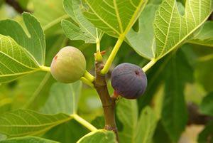 Gut gepflegter Feigenbaum mit reifer Frucht