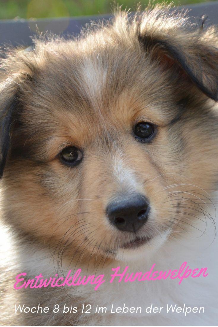 Die Entwicklung Der Welpen Woche 8 12 Welpen Hunde Welpen