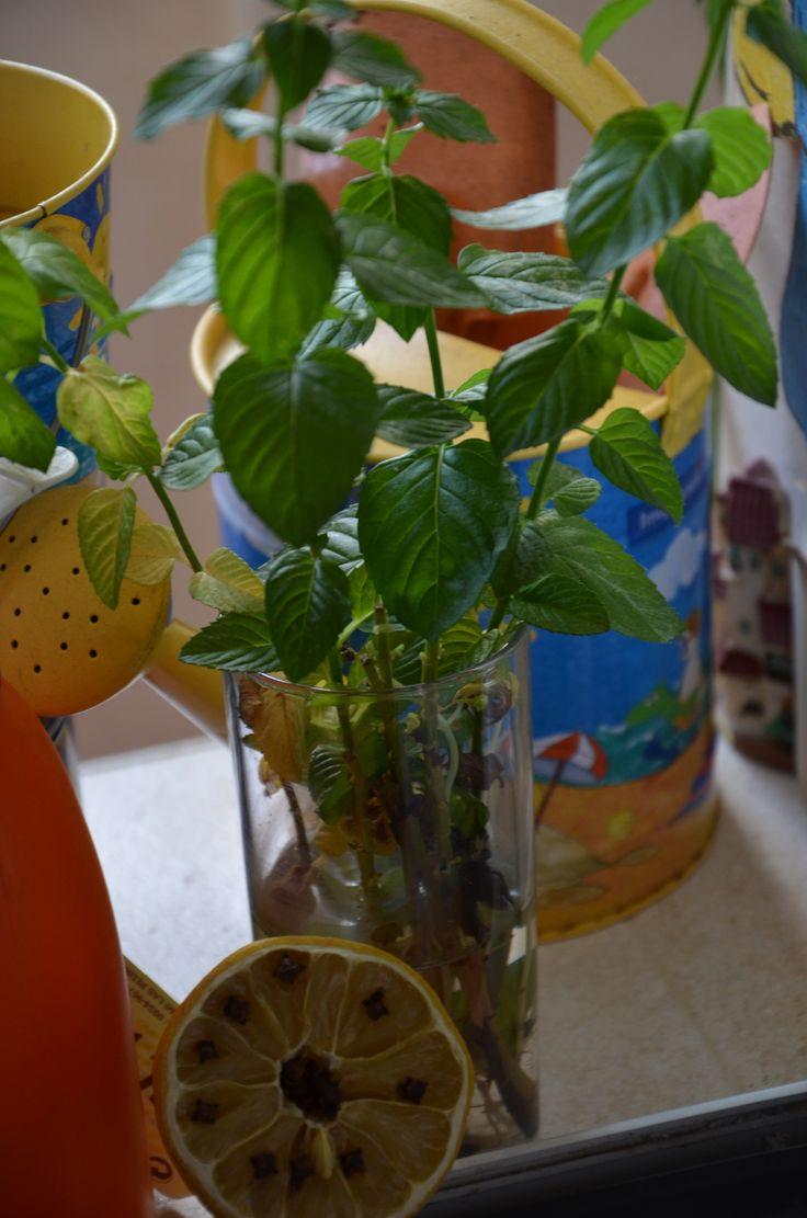 Nuestro repelente de mosquitos natural, una planta de menta y limón con especia de clavo.