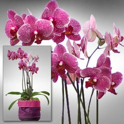 Orchidee im Emsa Softbag