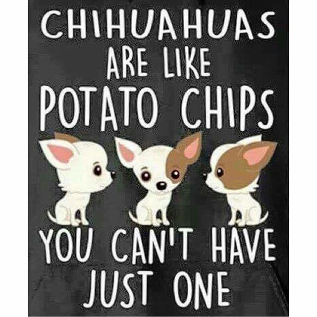So true! #chihuahuadaily #teacupdogs #teacupchihuahua                                                                                                                                                      More