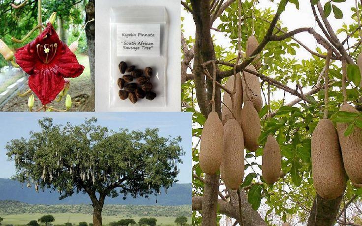 Sausage Tree Kigelia Africana Pinnata Seeds