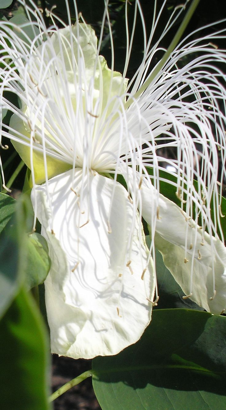 cascading stamens of this Hawai'an flower