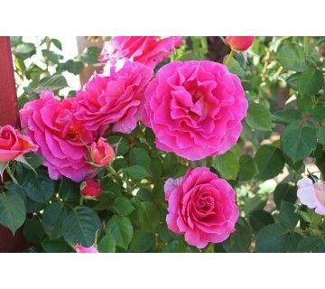De sterke en gezonde Tom Tom roos heeft prachtige grote bloemen. De roze bloemen ruiken heerlijk.