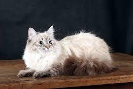 Картинки по запросу сибирские кошки
