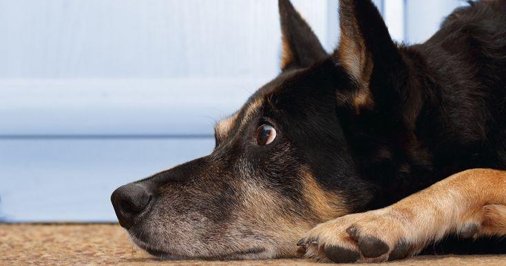 Saiba diagnosticar a ansiedade de separação no seu cão e veja nossas dicas para lidar com esse problema que afeta tantos cães.
