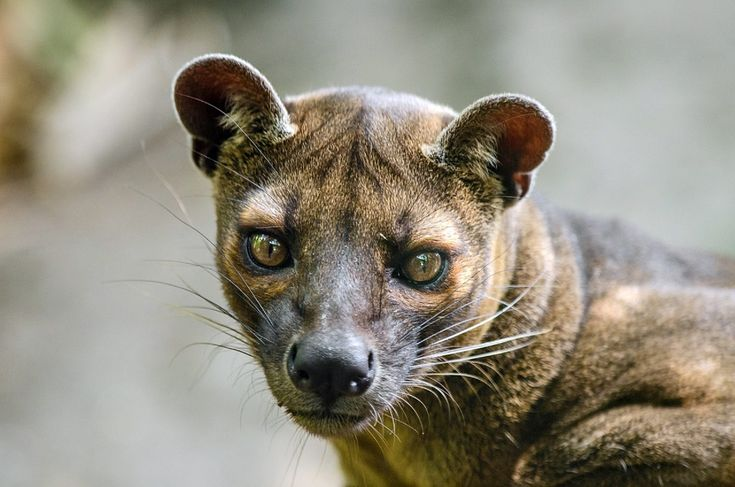 Fossa, Madagaskar, Raubtier, Fleischfresser, Säugetier