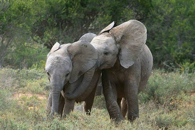 Oh my heart. .!! Credit : @ryanvlabuschagne - Baby elephants- love and affection Taken early morning at Woodland. For info about promoting your elephant art or crafts send me a direct message @elephant.gifts or emailelephantgifts@outlook.com . Follow @elephant.gifts for inspiring elephant images and videos every day! . . #elephant #elephants #elephantlove
